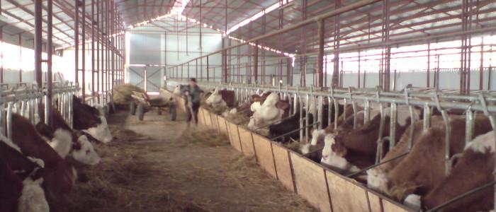 Vindem ferma de vaci cu unitate proprie de producere produse lactate